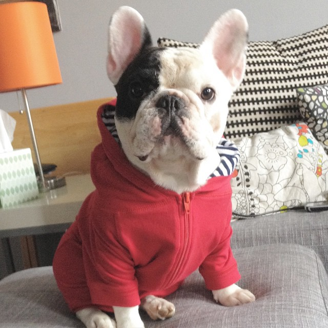 Good Morning America French Bulldog : Most popular dogs on facebook hippy puppy
