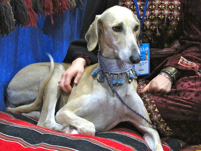 Saluki dog